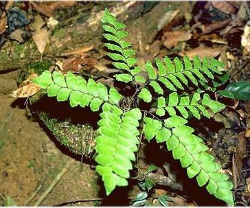 Sporenplanten Varens