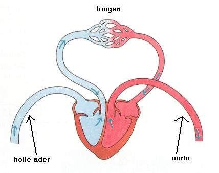 gaswisseling in de longen