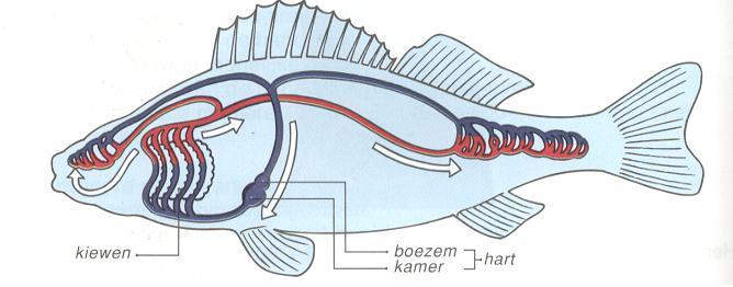 heeft een vis een hart