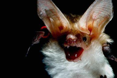Thema vogels - Chauve souri vampire ...