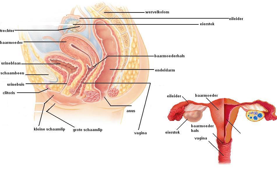 biologie vrouwelijk geslachtsorgaan